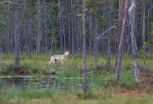 Loup dans la tourbière - Finlande