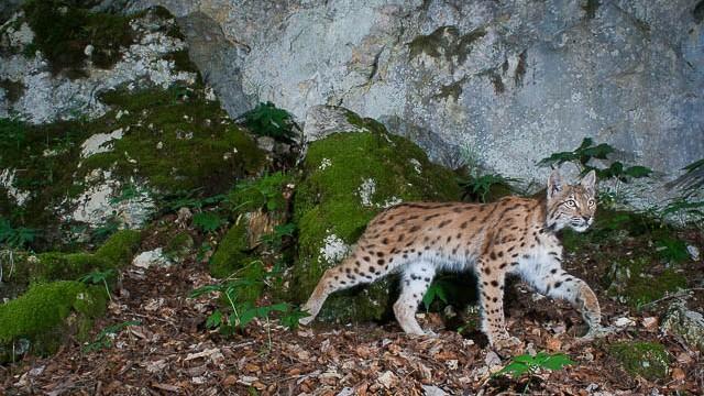Sur les traces du Lynx