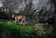 Lynx B247 dans une falaise