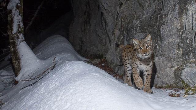 Lynx B441.jpg