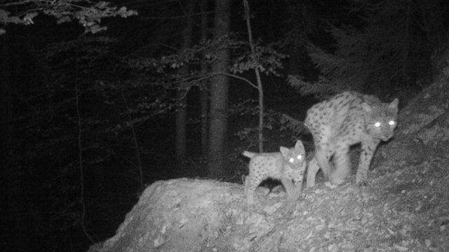 Femelle lynx avec son jeune