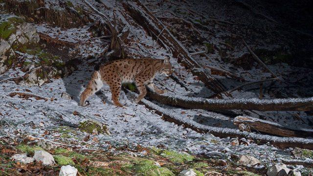Translocation de lynx