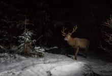 Cerf sous la neige