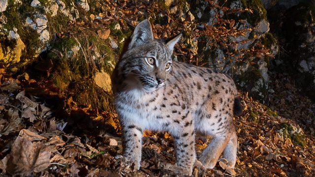 Lynx - 300 km à pied