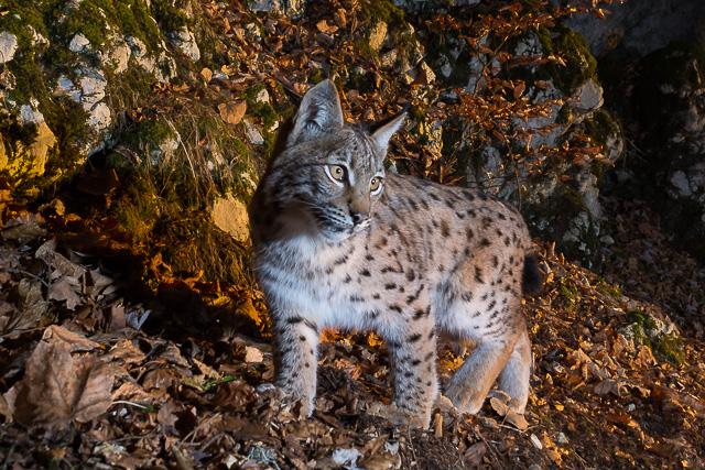 Lynx – 300 km à pied