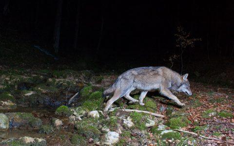 Loup jurassien